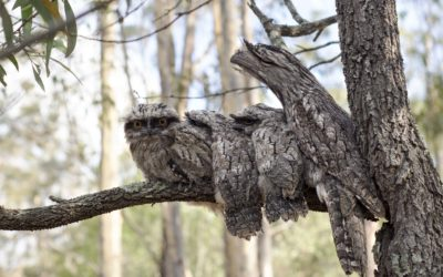 Family Portrait for Tawny Frogmouth Owls