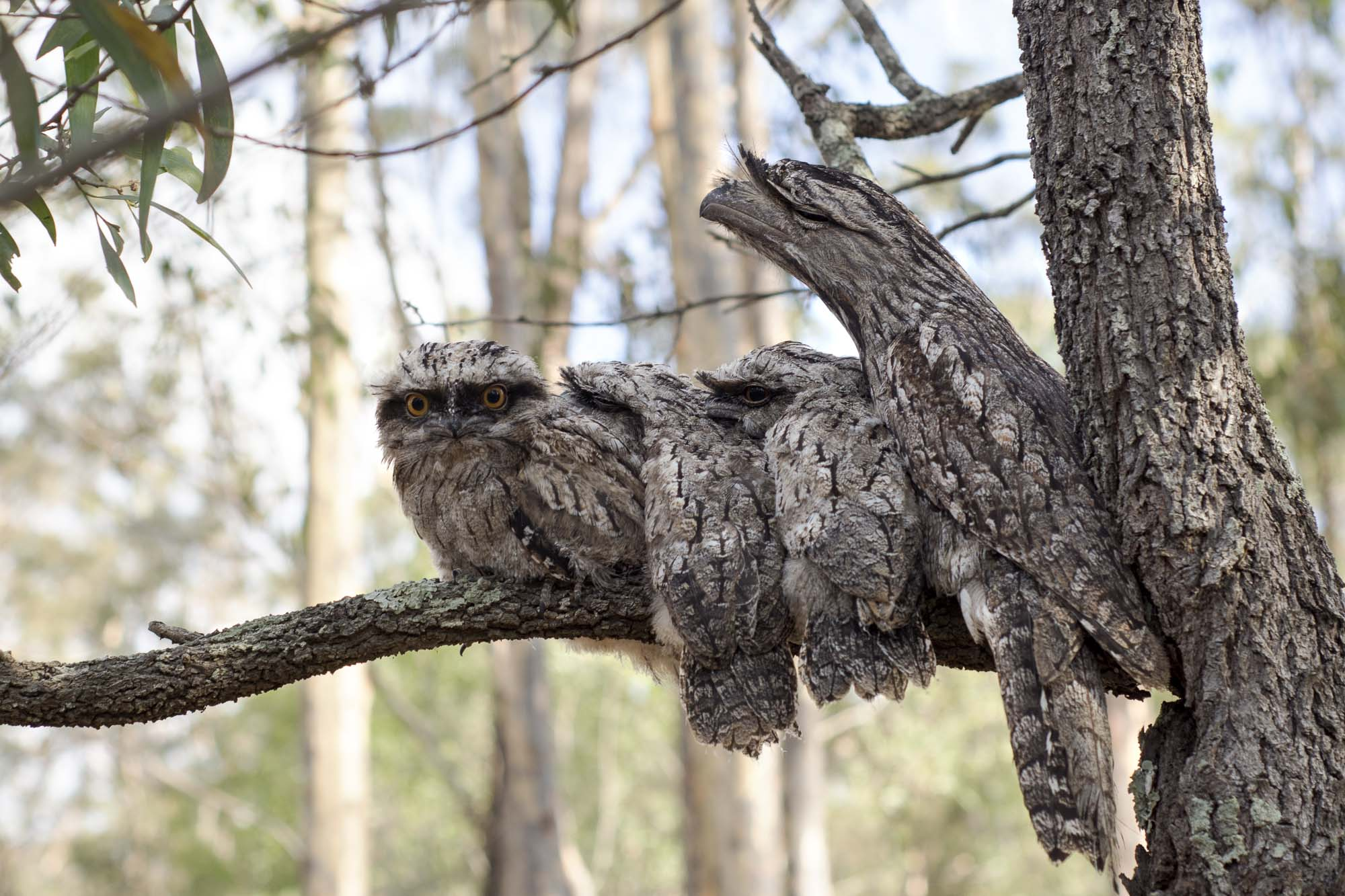 The Tawny Frogmouth Owl Family Portrait